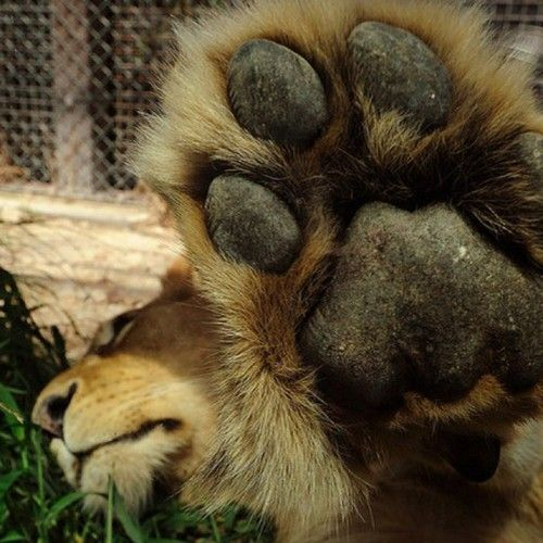 Talk to the paw: Hand, Lion, Animals, Big Cats, Bigcats, Paw, Wild Cats, Photo, Talk