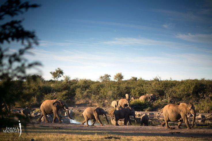 Elephants at waterhole, right in front of the lodge, Jamala Madikwe