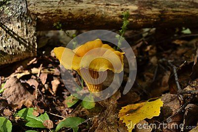 In natural habitat outdoors in Norway great details seen on this yellow Delicious mushroom gold of the forest