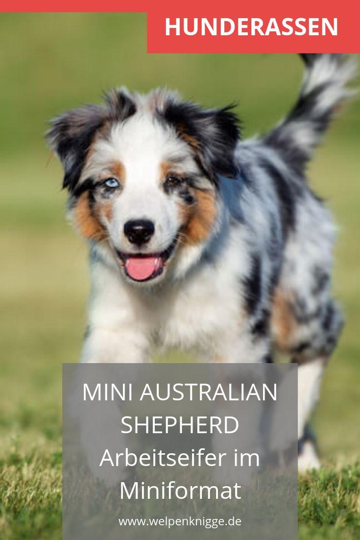 Mini Australian Shepherd Welpen