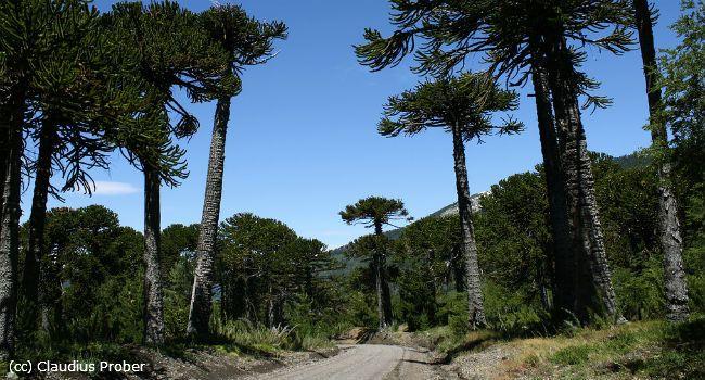 Reserva Nacional Malalcahuello, un destino para todo el año. www.turismonacional.cl