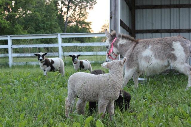 Our little farm animals.