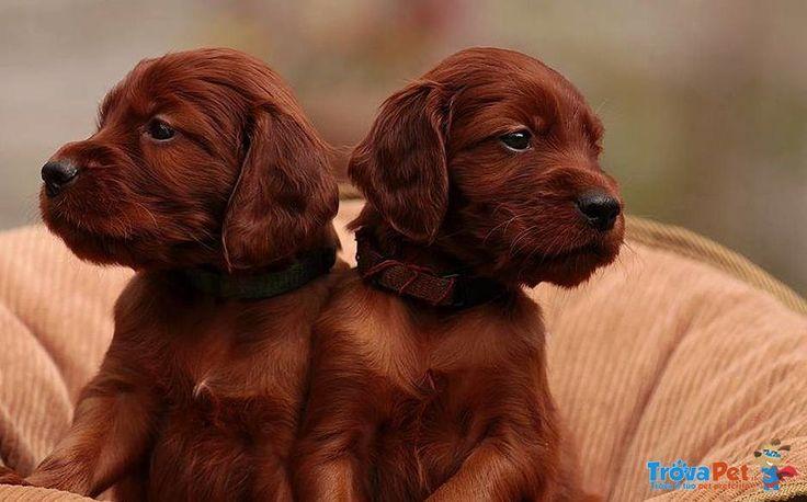Cuccioli di setter Irlandese, pedigree,vaccini kit cucciolo  Setter Irlandese maschio di 1 anno e 6 mesi in vendita a Pompei (NA) e in tutta Italia da privato in vendita per 390€