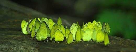 Butterflies in Kaeng Krachan National Park, Thailand