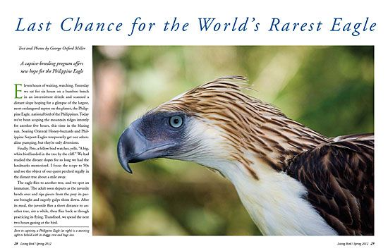 The largest, most endangered raptor on the planet, the Philippine Eagle, national bird of the Philippines