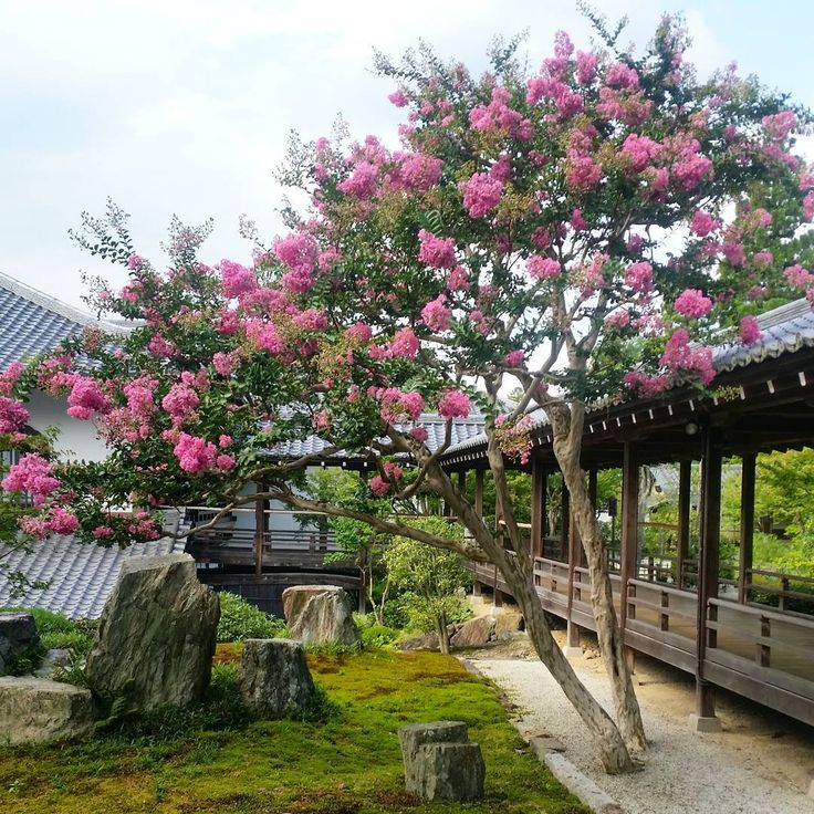 #pink#tree#flower#blooming#summer#garden#green#kyoto#南禅寺#nanzenji#temple