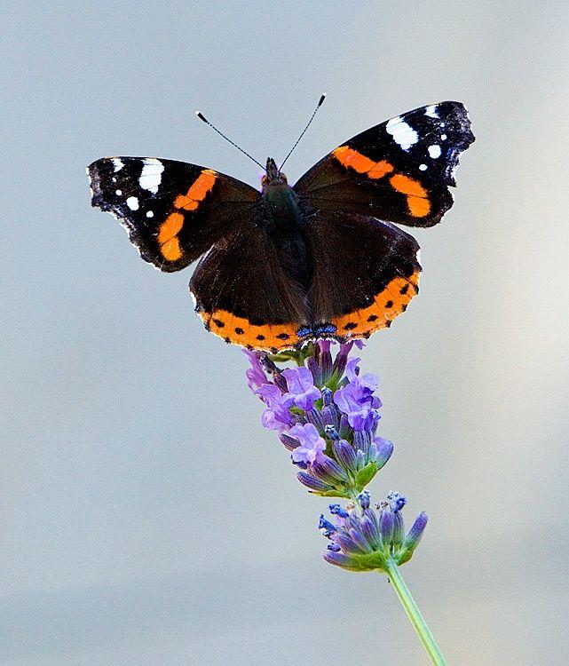 Red admiral butterfly (Vanessa atalanta), Apt, Provence, France