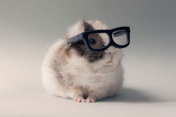 Glasses wearing guinea pig, Booboo, looking as sophisticated as ever.