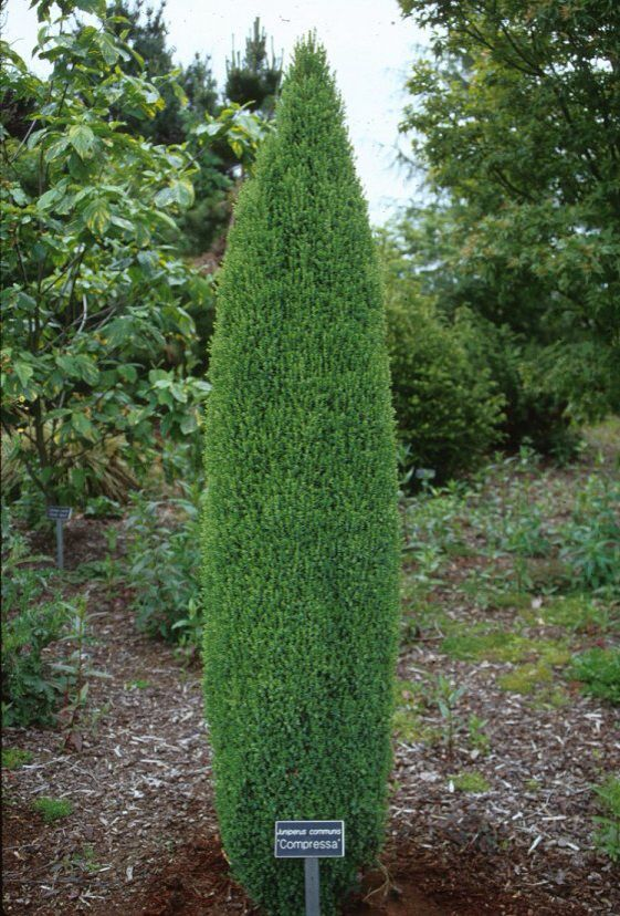 Juniper compressa dwarf landscape ideas pinterest for Best dwarf trees for front yard