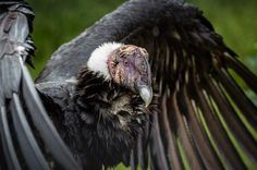 Learn all you wanted to know about Andean condors with pictures, videos, photos, facts, and news from National Geographic.