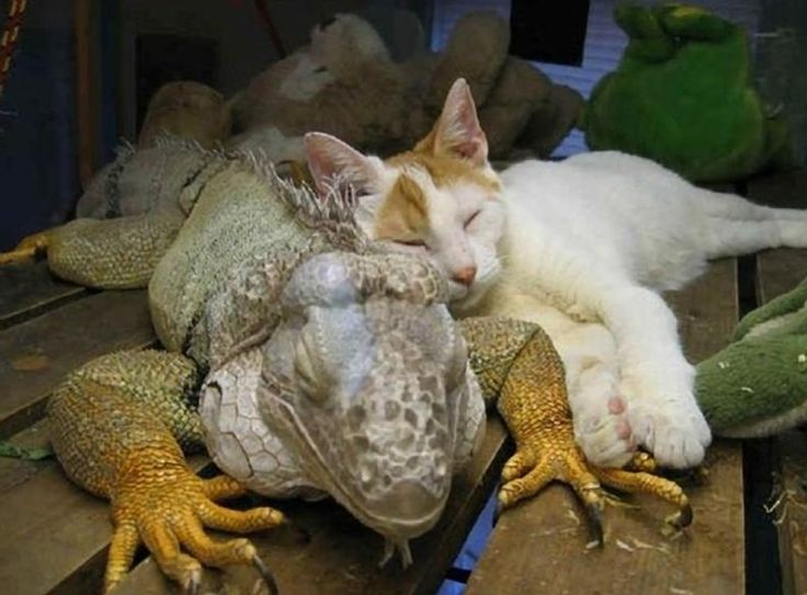 Not your usual buddies! - Pixdaus: Cats, Animals, Iguanas, Pet, Animalfriends, Funny, Odd Couples, Animal Friendships