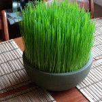 El Wheatgrass o Té de pasto es un producto que ayuda a combatir enfermedades