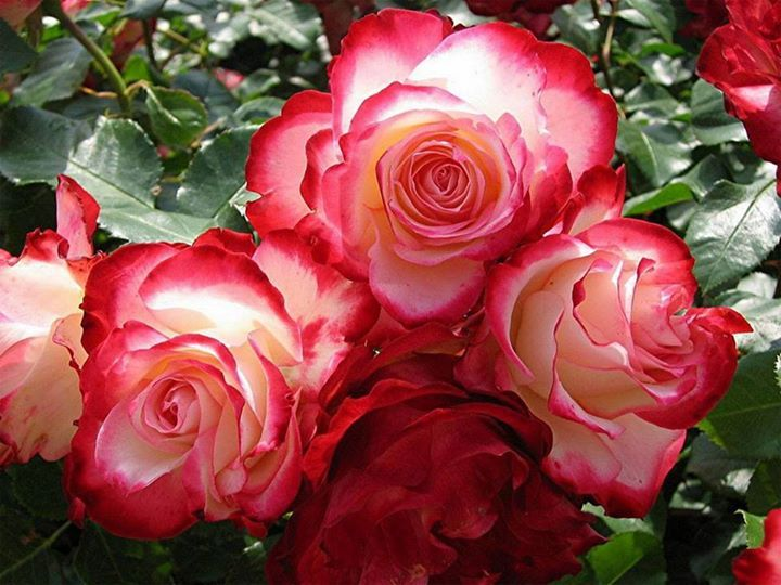 Double Delight rose.... I have had this one, and it is gorgeous!