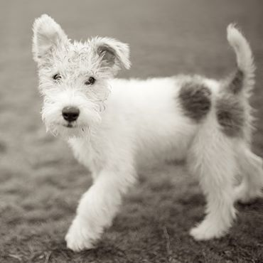 Wire Fox Terriers always look like little toys! Frankie is no exception, cute