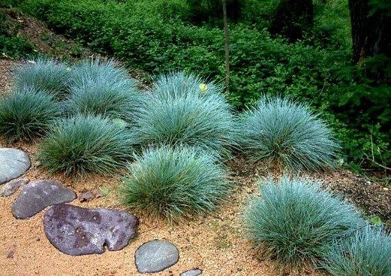Grama de festuca azul, 200 sementes, Festuca glauca, cobertura do solo, zonas perenes de 4 a 10, tolerante à seca, à prova de veados, adora o deserto, tão fácil   – plants
