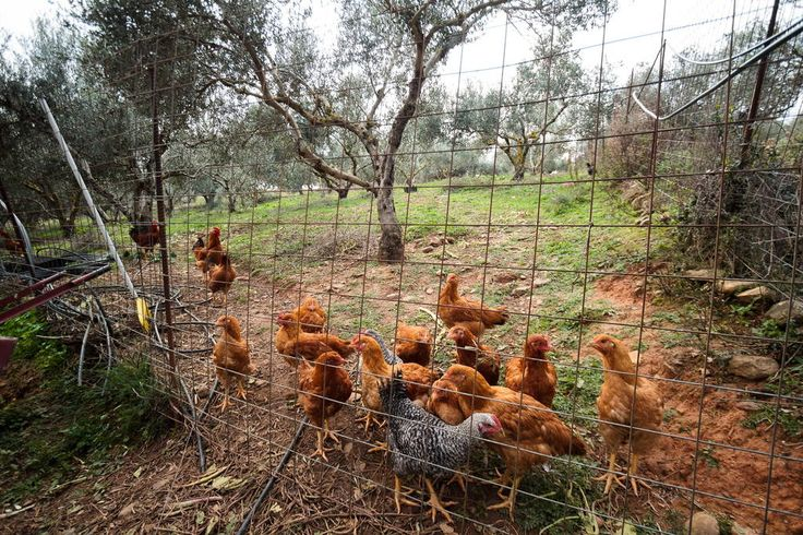 Free range chickens are just next to the house. Just ask us how you can get your own fresh eggs for your breakfasts!