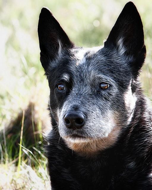 Australian Cattle Dog #dogs #animal #australian #cattle