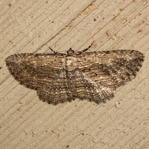 how to kill carpet moths naturally