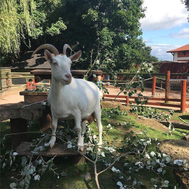 Goats #nofilter