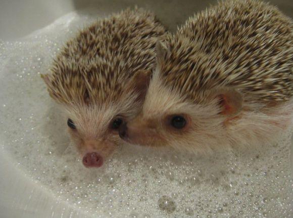 hedgehog bath hedgehogs pinterest hedgehogs and bath