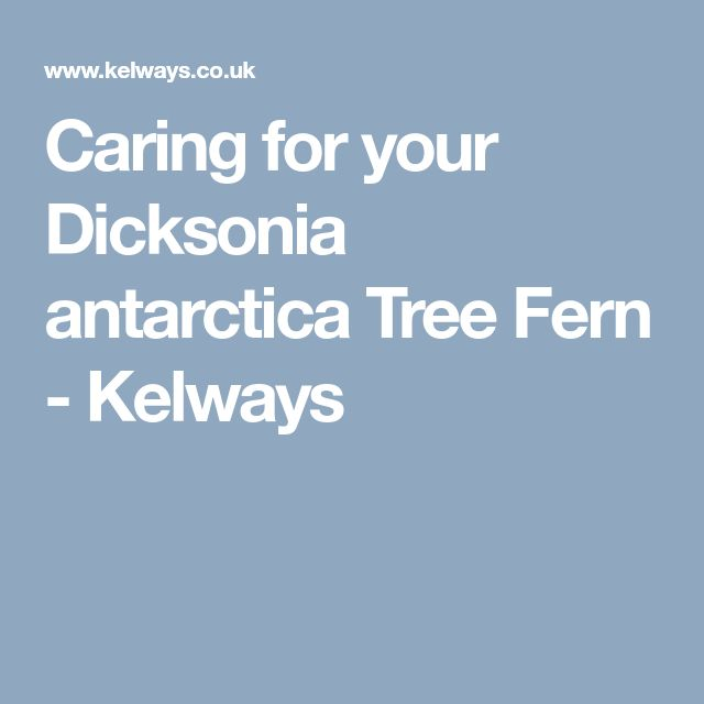 Caring for your Dicksonia antarctica Tree Fern - Kelways