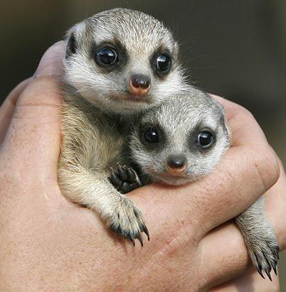 A handful of meerkat<3