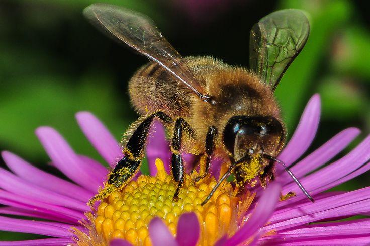 """Macrophotographie d'abeilles : Abeille noire, """"Apis mellifera"""" à la recherche du pollen. Les abeilles et notamment l'abeille noire participent à la pollinis"""