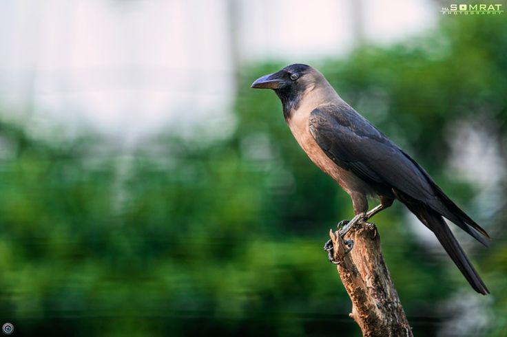 crow [কাক]