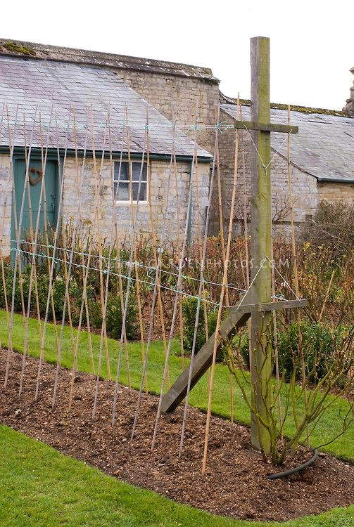 Sweet Pea Canes Poles Trellis And Watering How To Stake