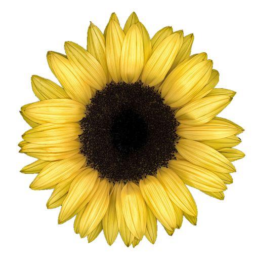 sunflower transparent overlay