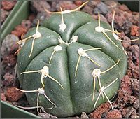 Buy cactus and succulents for sale at Cal Cactus