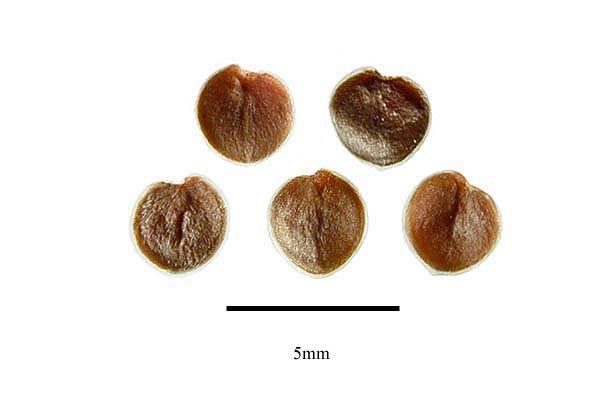http://www.ars-grin.gov/npgs/images/sbml/Ruellia_tuberosa_seeds.jpg