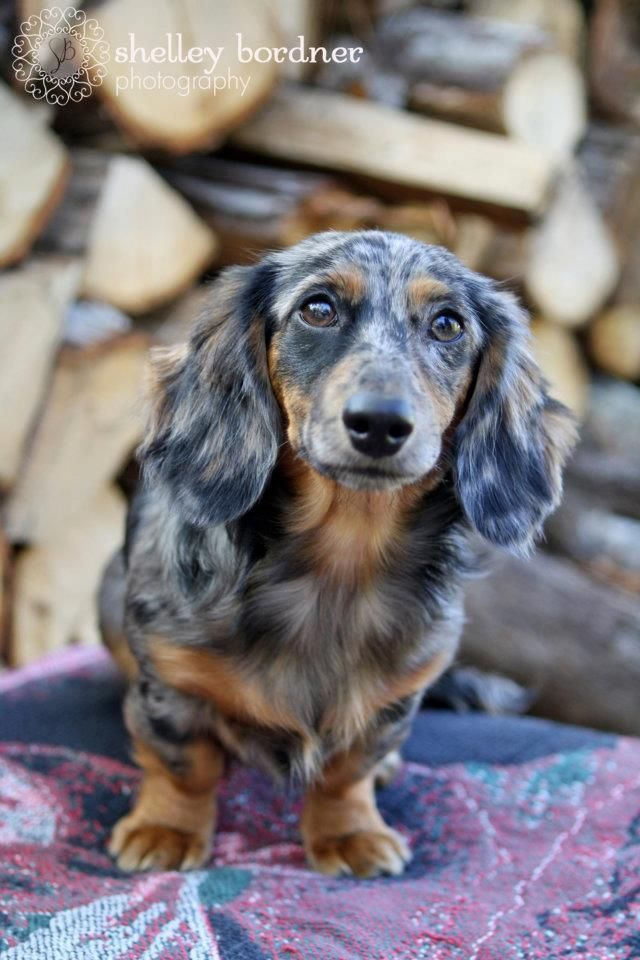 Long Haired Dapple Dachshund So Pretty Dapple Dachshund