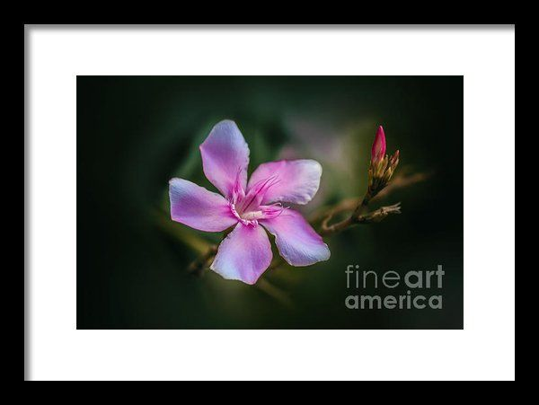 Bud And Blossom  Framed Print By Charuhas Images