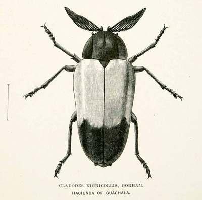 1891 Wood Engraving Gorham Whymper Entomology Cladodes Nigricollis Andes Beetle | eBay