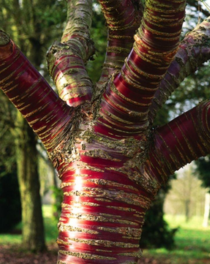 Gorgeous Paperbark Cherry Tree