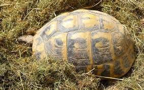 une mère tortue