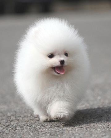 Re-pin me, if you can find my eyes behind all this fluff!Pomeranians Mama, Pom Puppies, Pompom Pow, White Pom, Pom Pom, Baby Girls Pom, Stagecoach Pomeranians, Pomeranians Mi