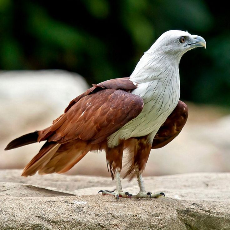 Bald Eagle, US National Emblem - American Bald Eagle