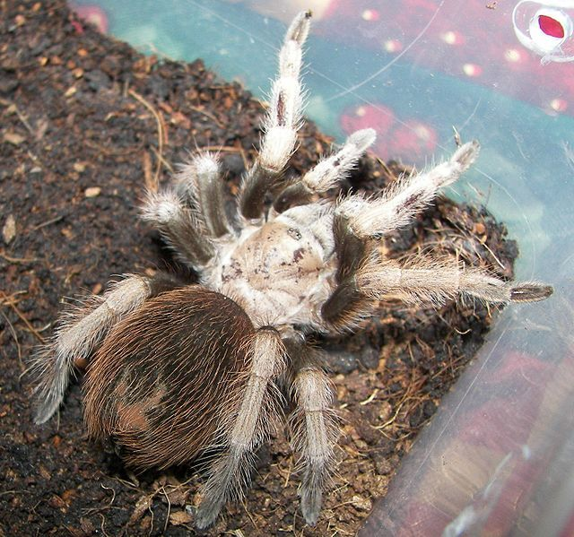 Arizona Blond Tarantula - Aphonopelma chalcodes - This species of tarantula has a limited distribution in the deserts of Arizona and adjacent parts of Mexico. Along with venom, A chacodes has urticating hairs on its abdomen which have barbs on the tips, making them very difficult to remove