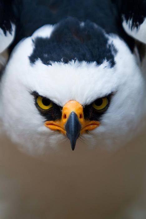Aigle animal noble et feroce
