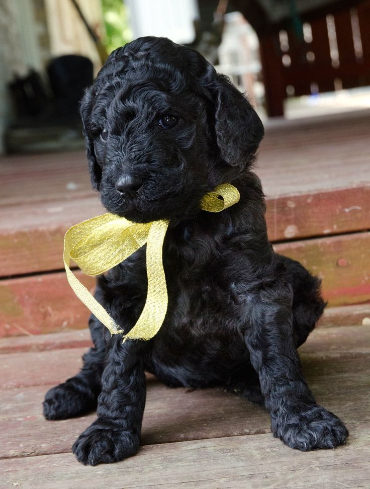 black standard poodle puppy - photo #39