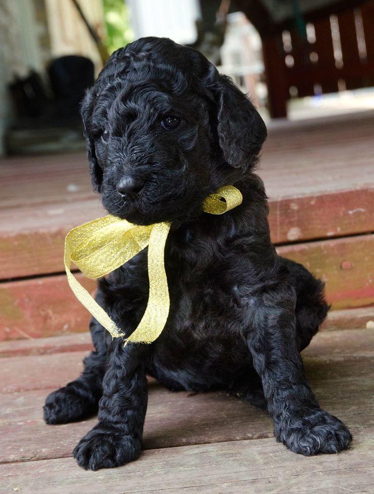 black standard poodle puppy.jpg