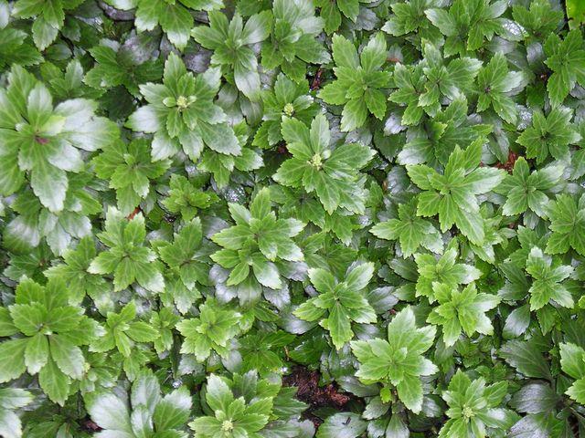 Les 25 meilleures id es de la cat gorie couvre sol persistant sur pinterest plante persistant - Couvre sol persistant ...