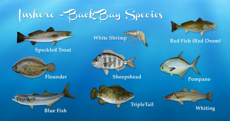 Alabama inshore fishing al back bay species speckled for Gulf fish species