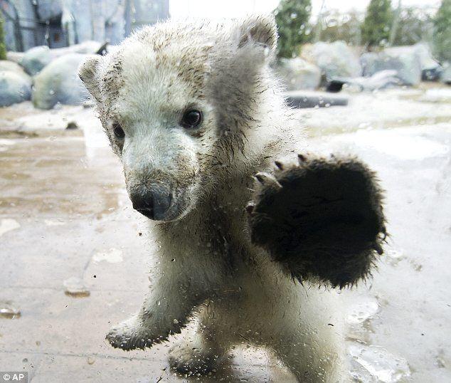 'bear' the polar bear at toronto zoo