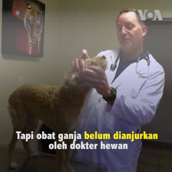 Banyak pemilik hewan di AS pakai ganja sebagai obat alternatif. Tapi penggunaan ini belum dianjurkan oleh dokter hewan.