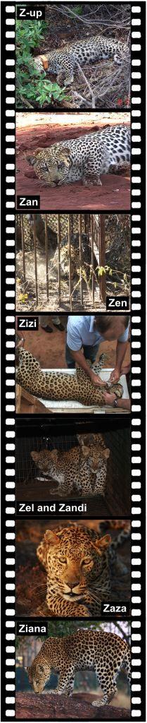 #Leopardtv article in Wildland (July 2015) - SHAYAMANZI Part 1 of the #Shayamanzi story (www.leopard.tv)