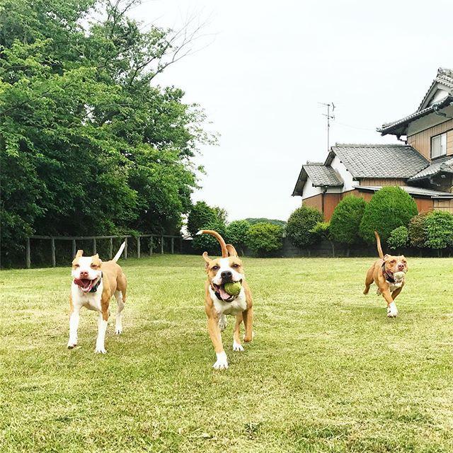 💚✨✨✨ #pit#pitbull#pitbulls#dog#doggy#love#lovedog#park#ball#family#familydog#ピットブル#アメリカンピットブルテリア#ワンコ#家族#愛犬#公園#多頭飼い