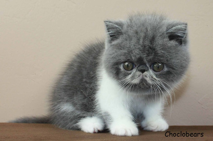 Choclobears Cattery Blue & White Exotic Shorthair - 8 weeks